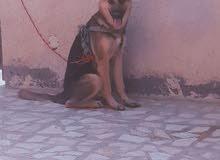 كلب جيرمن اصلي سوبر