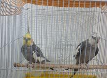 للبيع طيور الكوكتيل كما على الحال