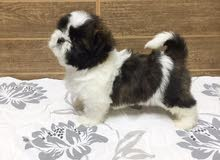 pure breed Shihtzu puppies