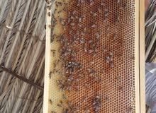 عسل عماني تربيه طبيعي 100٪