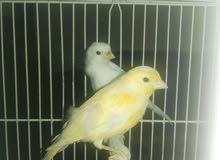 عصافير كناري لون ابيض واصفر ساده