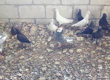 حمام بلدي انواع بناديق للبيع أو البدل على طيور جنه أو كنار