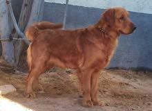 كلاب جولدن دكر ونتايه الدكر 11 شهر ونتايه سنه وشهر