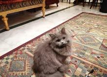 قطط شيراز المانى بيور