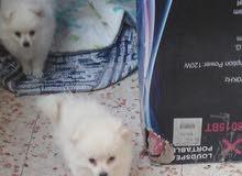 كلاب صغار ابيض للبيع pichon, parmorenian