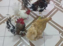 مجموعه دجاج للبيع