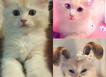 كيتنز للبيع kittens for sale