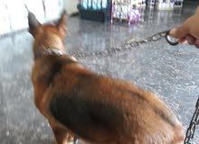 كلب الراعي الماني انثي عمرها 2سنتين