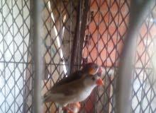 طيور الزيبرا(ليبينڨالي)