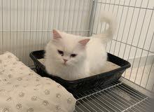 3 قطط للبيع مع اغراضها