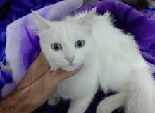 قطه شيراز للبيع