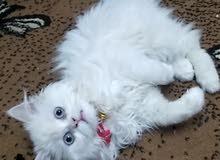قطه بيضاء شرازي مكس هملايا عمر 3شهور ونص