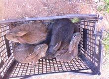 كوبيات ارانب امنجسات علي الجامبو