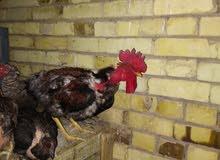 دجاج عرب تسع دجاجات وديج سعر الوحدة ب15