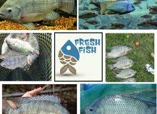 نقوم بانشاء والاشراف على مزارع الاسماك وإدارة التسويق لها