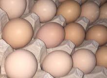بيض بلدي طازج رخيص جدآ