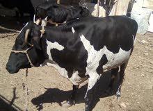 عدد ثلاثه أبقار للبيع