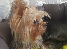 كلب ذكر يوركشاير تيرير