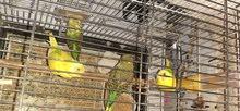 طيور حب للبيع او  مراوس بدرة اليف واطي فرق