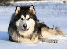 كلب ألاسكا مالموت مفقود