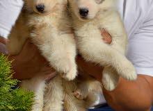 husky puppies pure 100%