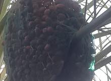 تمر خصاب الكيلو ب 600 بيسه. dates for sale. 600 per kilo