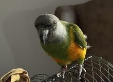 Senegal parrot بغبغان سنغالي