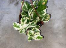 نبات للمنزل houses' plants