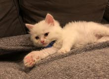 3 month old male kitten for sale
