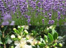 زيوت عطرية اساسية الخزامى (اللافندر) و الآس الأخضر (myrte vert)