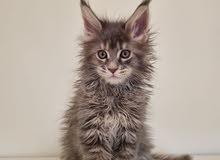 Maine Coon Kitten - Female