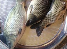 سمك كاريبي للبيع جمله مفرد وبسعر مناسب