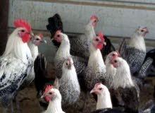 صوص دجاج فيومي