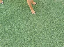كلب شواو للبيع