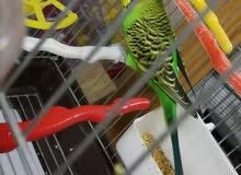 طيور حب كرست مستورد مستوى عالي