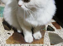 قطة شيرازي حامل للبيع