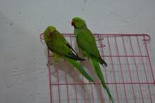 طيور اقره التفاصيل