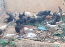 دجاج عربي 20 فيومي و5براهما أصلي و4فراريج