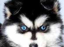 Husky pure for sale 550 Rial