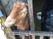 عنزه بلديه عمرها سنه وشهر للبيع بسعر مغري جدا