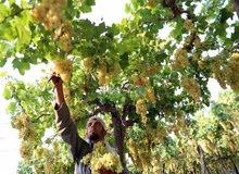 عمال جمع فاكهة