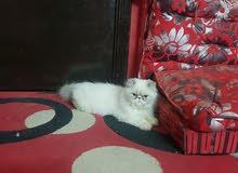 قطه هملايا بكي فيس