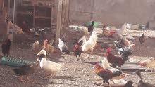 طيور مختلفة للبيع