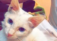 قطة شيرازية للبيع السعر