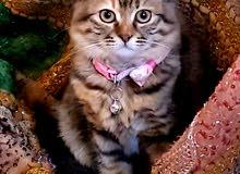 قطة شرازي انثى للتبني عاجل جدا