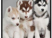 siberian huskies are looking for great family
