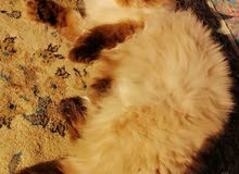 قطه نوع سيامي فول عمر 8 أشهر