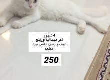 قطط جميله مطعمه شيرازي- هيملايا :  1 اسود 2 بيض ب 250-100 قابل للتفاوض