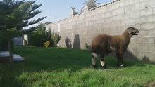 خروف هجين للبيع