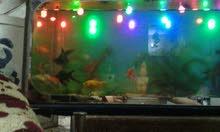أسماك زينه للبيع مع الحوض